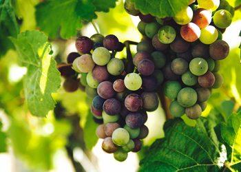 Farma Urody - zabieg soczyste winogrono